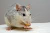 rat-440987-640-164081.jpg