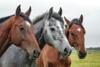 horses-1414889-640-147913.jpg