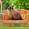 sofa-couch-cat-british-shorthair-169786.jpg